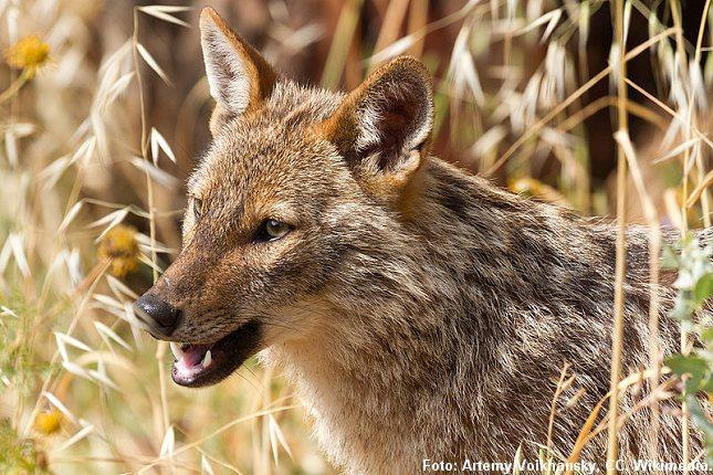 En sjakal har fundet vej til Danmark. Danskerne skal måske til at vænne sig til endnu et nyt rovdyr i den danske natur? Foto: Artemy Voikhansky, CC, Wikimedia.