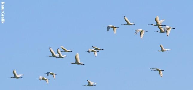 Flyvende skestorke. Ungfuglene kendes på sorte vingespidser.