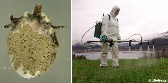 Venstre: Skovflåt inficeret af Metarhizium-svampen. Foto: Foto Karin Westrum, Bioforsk Plantehelse. Højre: Sprøjtning og udspredning af den flåtdræbende svamp. Foto: Natasha Sant Anna Iwanicki, Bioforsk plantehelse.