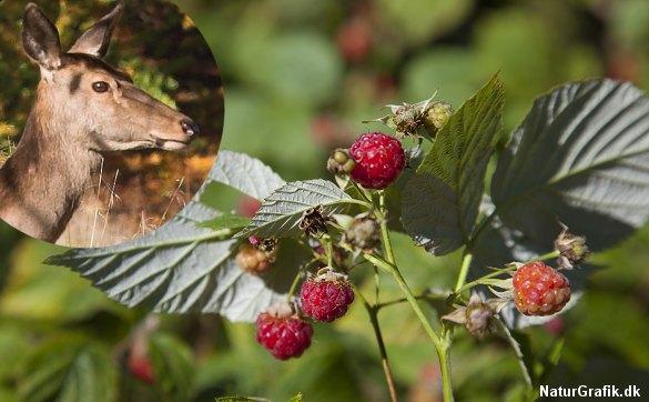 I følge flere danske og tyske kilder er hindbær navngivet efter kronhjorten - og nærmere bestemt hun-dyret hos krondyrene, der kaldes for hinden.