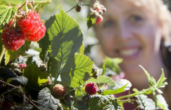 Modne, sødmefulde hindbær hører til skovturen i juli.