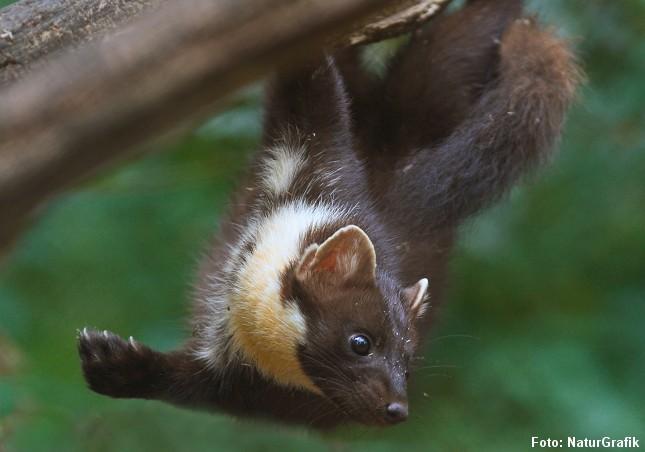 Skovmåren er både adræt og en dygtig klatrer. Den kan bl.a. jage og fange egern i træerne. Foto: Niels Lisborg/NaturGrafik.
