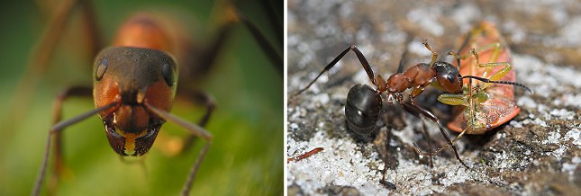 Skovmyrer er rovinsekter, der konstant er på jagt efter bytte, der kan bringes til myretuen. Til højre har en myre angrebet en bladtæge.
