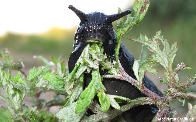 De store snegle er mest kendt som planteædere (foto), men nu viser det sig at sneglene ikke går af vejen for animalsk føde i form af fugleunger.