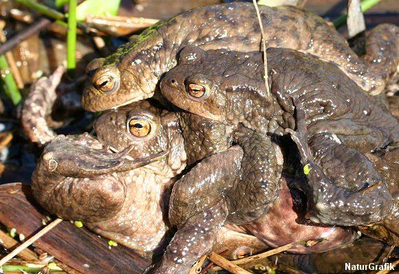 Ivrige tudsehanner kaster sig over hunnen i håb om at blive far til den næste generation af haletudser.