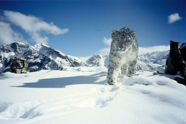 Det er stadig en gåde, hvordan den sky og truede sneleopard klarer iltoptagelsen uden problemer i de tynde luftlag i Himalayabjergene. Foto: wikimedia.