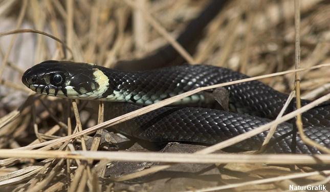 giftige slanger i danmark