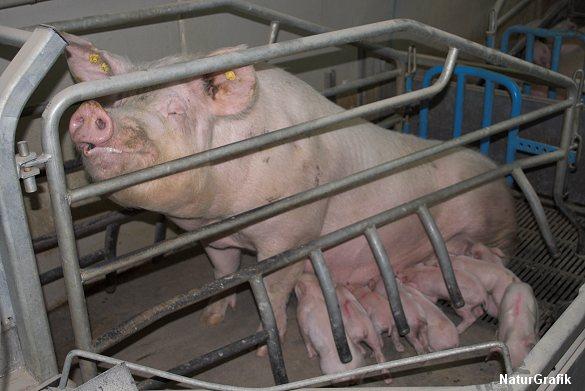 Soja er populært som svinefoder. Store regnskovsarealer ryddes i Sydamerika for at etablere sojamarker til svinefoder.