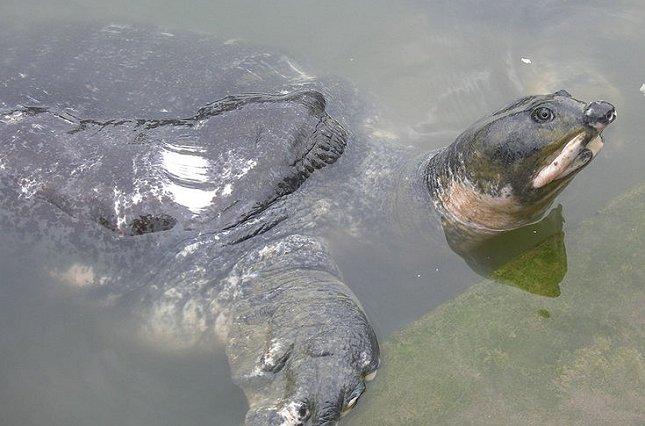 Denne indiske ferskvands-skildpadde (Nilssonia nigricans) er blevet erklæret for uddød i naturen.  Foto: Rohan Uddin Fahad, Wikimedia.