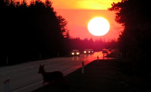 Det er en myte, at der sker flere påkørsler af hjortevildt ved overgang fra sommertid til vintertid. FotoGrafik: NaturGrafik.dk.