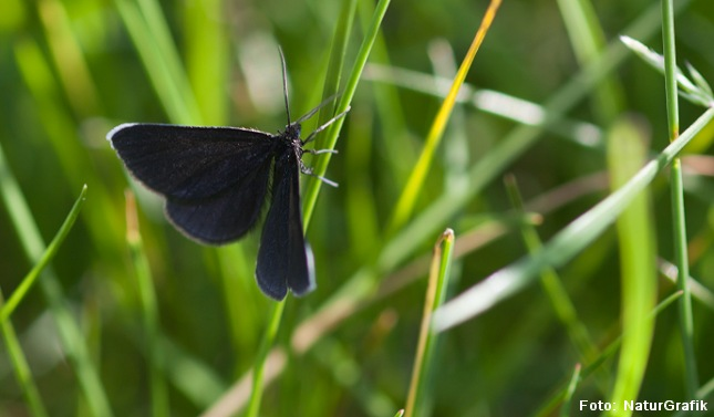 Den sorte måler hører til natsommerfuglene, der bl.a. kendes ved at deres følehorn er formet som fjer eller tråde, hvorimod dagsommerfuglenes følehorn er kølleformede. Foto: Marianne Riis/NaturGrafik.