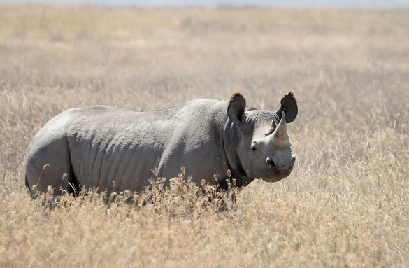 Sort næsehorn er trods navnet gråt. Arten er i dag helt forsvundet fra Vestafrika. Foto: Yoky, Wikipedia Commons.