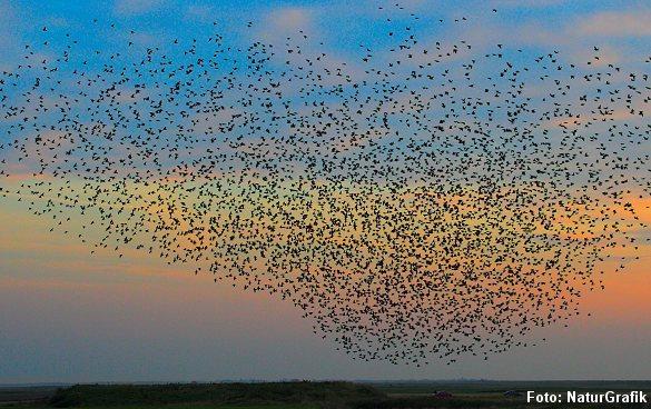 På aftenhimlen i september trækker tusinder af stære sammen i store flokke, der danner naturfænomenet sort sol.