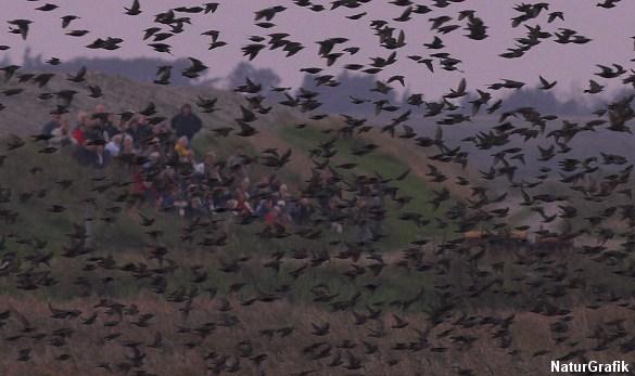 Det er en stor naturoplevelse at se stærene gå til ro i rørskoven. Tusinder og atter tusinder af stære lander i rørskoven i skumringen.