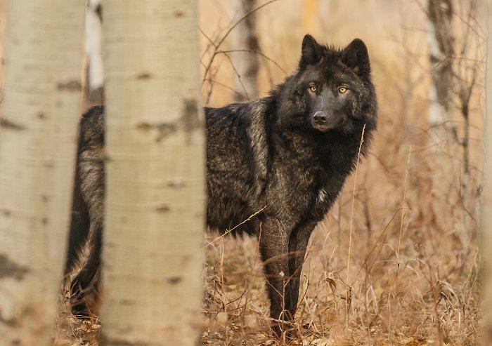 Sort ulv