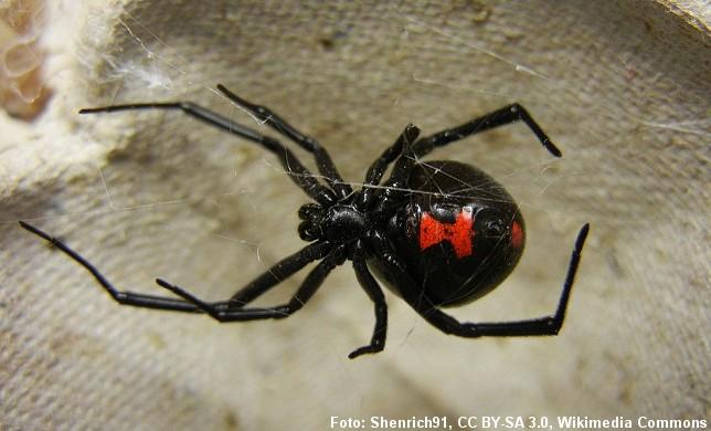 Den danske perleedderkop tilhører samme familie som den berygtede sorte enke, der ses på billedet. Foto: Shenrich91, Wikipedia.