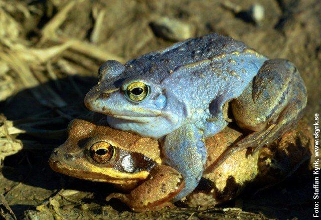 Spidssnudet frøer i parring. Hannen kan blive blå i yngletiden. Foto: Staffan Kyrk, CC BY-SA 3.0, Wikimedia