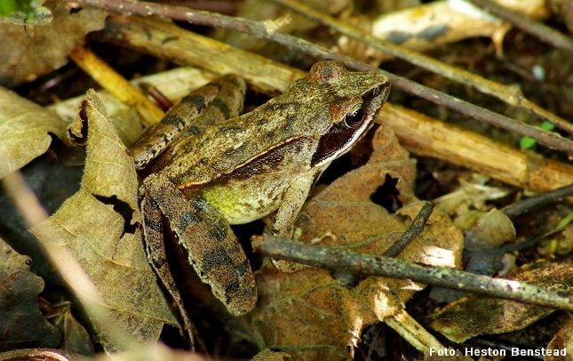 Uden for yngletiden kan springfrøen træffes langt fra vandhullet. Foto: Heston Benstead/Wikimedia.