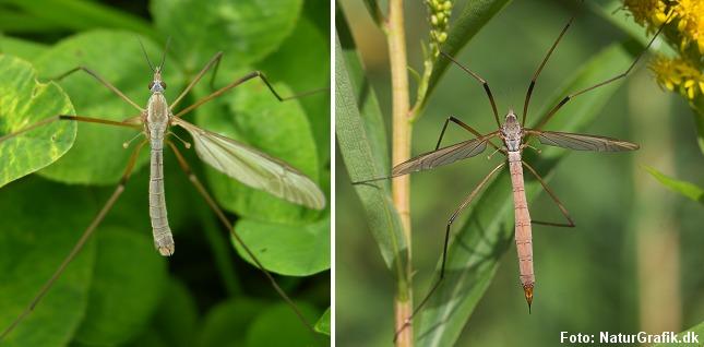 Han og hun af stankelben skelnes lettest fra hinanden på bagkroppens spids. Hos hannen (til venstre) virker bagkroppen nærmest lige afskåret, hvor den hos hunnen (til højre) er spids.
