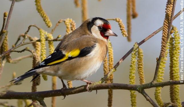 Stillitsen - en af vores smukkeste småfugle. Foto: Pierre Dalous.