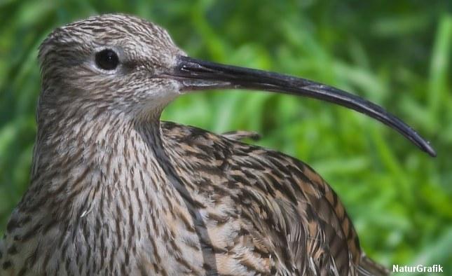 Storspovens næb er så veludviklet og følsomt at fuglene kan føle trykforskelle i mudderet når næbbet er boret ned i nærheden af byttedyr.