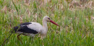 Fremgang for den hvide stork i Danmark