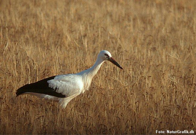 Ung stork i en kornmark. Syd for grænsen er landbruget mere ekstensivt og giver bedre vilkår for storkene, ifølge storkeekspert Hans Skov.