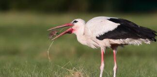 Storken dropper Afrika