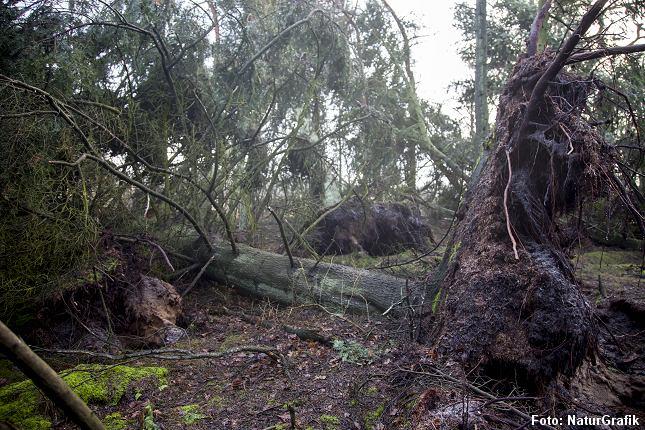 Ædelgraner væltet i storm. I urørte skove plantes ikke nye træer.