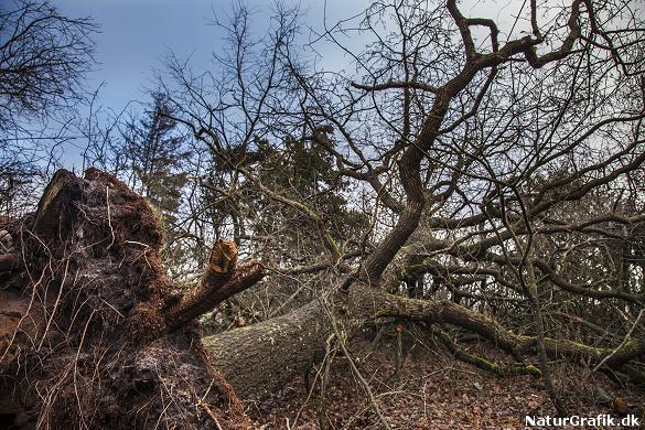 Stormen væltede også gamle egetræer. Naturstyrelsen vil efterlade egene til svampe og insekter for at øge artsrigdommen i statsskovene.