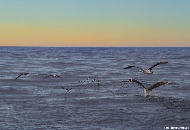 Derfor forveksler havfugle plastik med føde