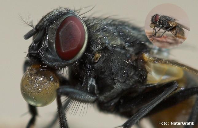 Den almindelige stueflue (Musca domestica) gyder en særlig spyt ud over sin mad, der opløser maden og gør den flydende. Derved kan fluen suge føden op.
