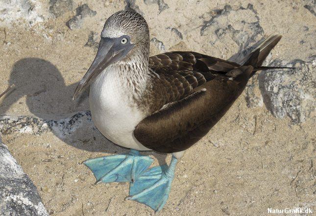 Antallet af havfugle i verden er faldet drastisk. Her en blåfodet sule.