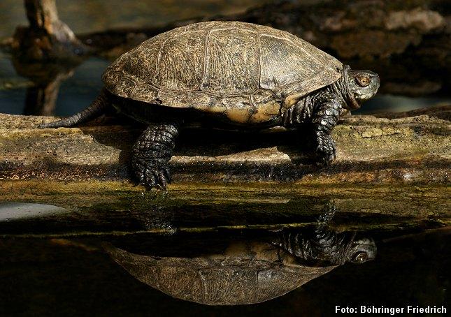 Europæisk sumpskildpadde. Foto: Böhringer Friedrich.