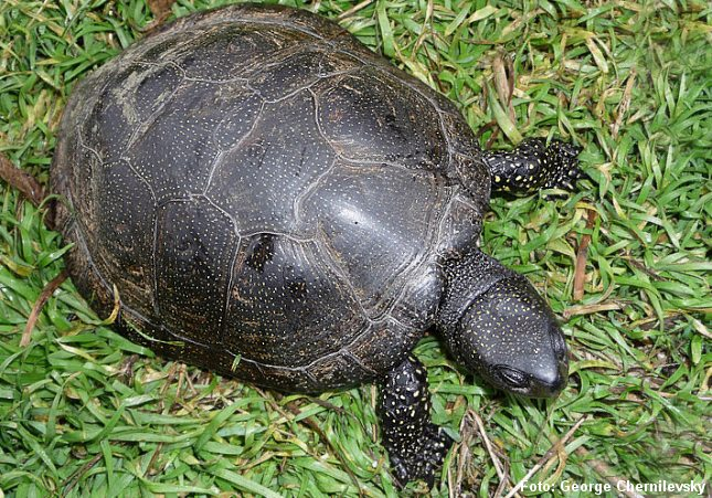 Europæisk sumpskildpadde - set fra oven. Foto: George Chernilevsky.