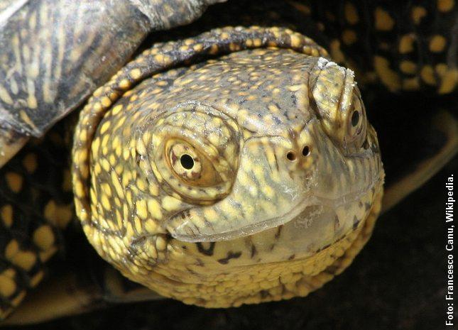 Portræt af europæisk sumpskildpadde. Foto: Francesco Canu.