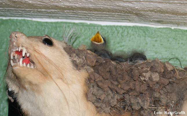 Svalerne synes ikke at lade sig skræmme af mårens blottede tænder.