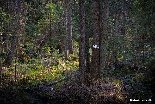 De hvide, iøjnefaldende frugtlegemer på stammen afslører svampedyret.