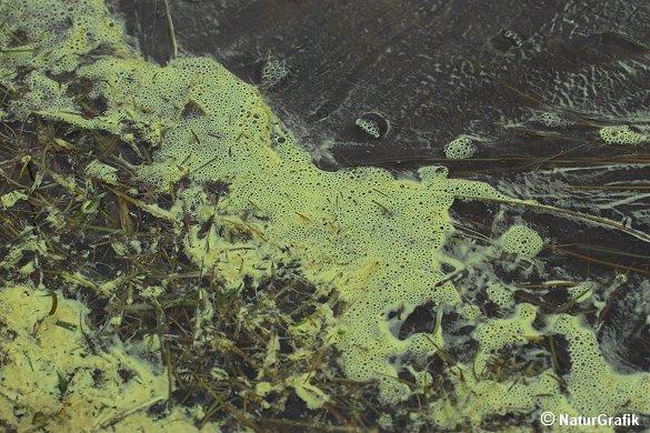 """Rødgranens hanblomster kan producere store mængder pollen, der kan farve skovbunden og vandoverflader gule. Fænomenet betegnes """"svovlregn""""."""
