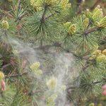 Gule pollenskyer og svovlregn
