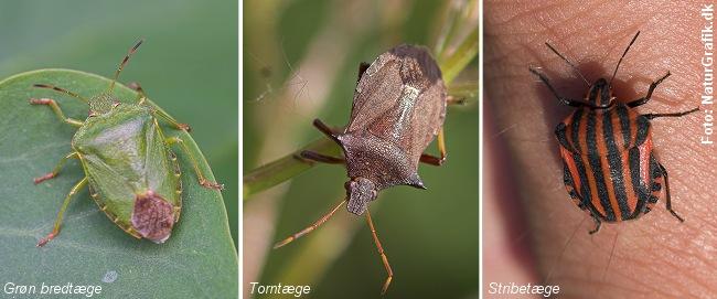 Tæger hører til insekterne og er generelt helt ufarlige for mennesker.