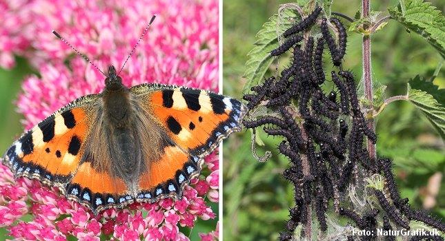 Larverne af Nældens Takvinge er helt afhængige af, at moder-sommerfuglen lægger æggene på den rigtige plante. Larverne kan nemlig kun leve på brændenælde (Stor Nælde).