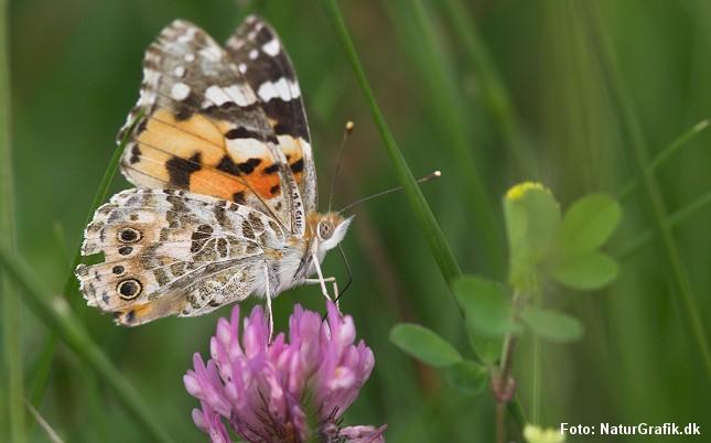 Sommerfuglen smager med fødderne, der afgør om noget er spiseligt. Herefter rulles den lange sugesnabel ud. Her en tidselsommerfugl.