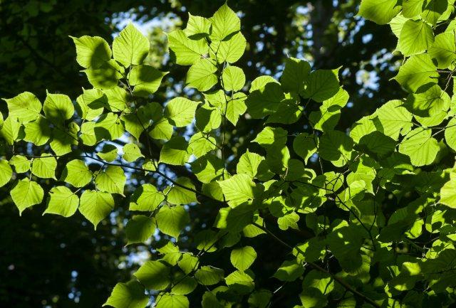 Nogle træarter serud til at kan få fordel af mindre stigninger i middeltemperaturen som f.eks. lind (foto). Foto: NaturGrafik.dk