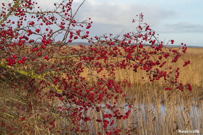 Tjørnebusk i december - med masser af bær. Der er dækket op for vindroslen. Foto: NaturGrafik.