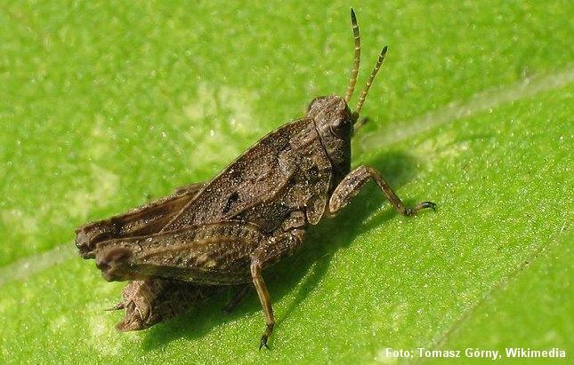 Torngræshopperne er små, tætte græshopper. Foto: Tomasz Górny, Wikimedia.