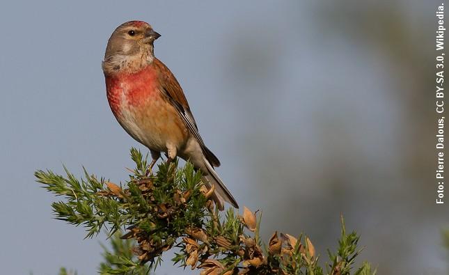 Tornirisken er en af det åbne lands smukkeste småfugle. Foto: Pierre Dalous, CC BY-SA 3.0, Wikipedia.