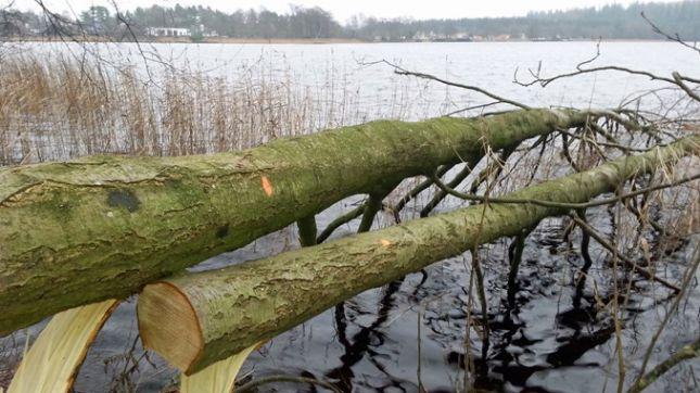Nyklækkede fisk kan skjule sig i træernes grene. Foto: Naturstyrelsen.