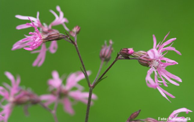 Blomsten virker lidt laset eller trævlet, deraf navnet trævlekrone.