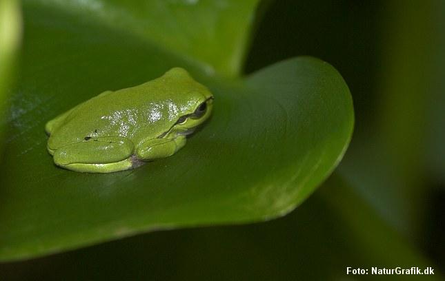 Løvfrøen er Danmarks mindste frø. Den måler blot 4 cm.
